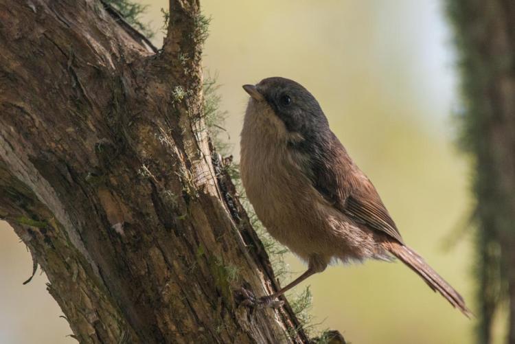 Brown creeper - Birds, Mana and Maori Culture