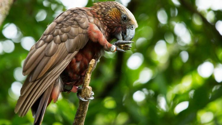 Kaka - Birds, Mana and Maori Culture