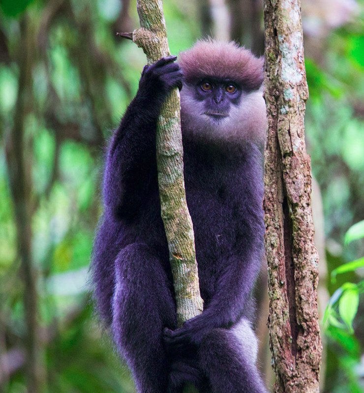 This purple-faced langur