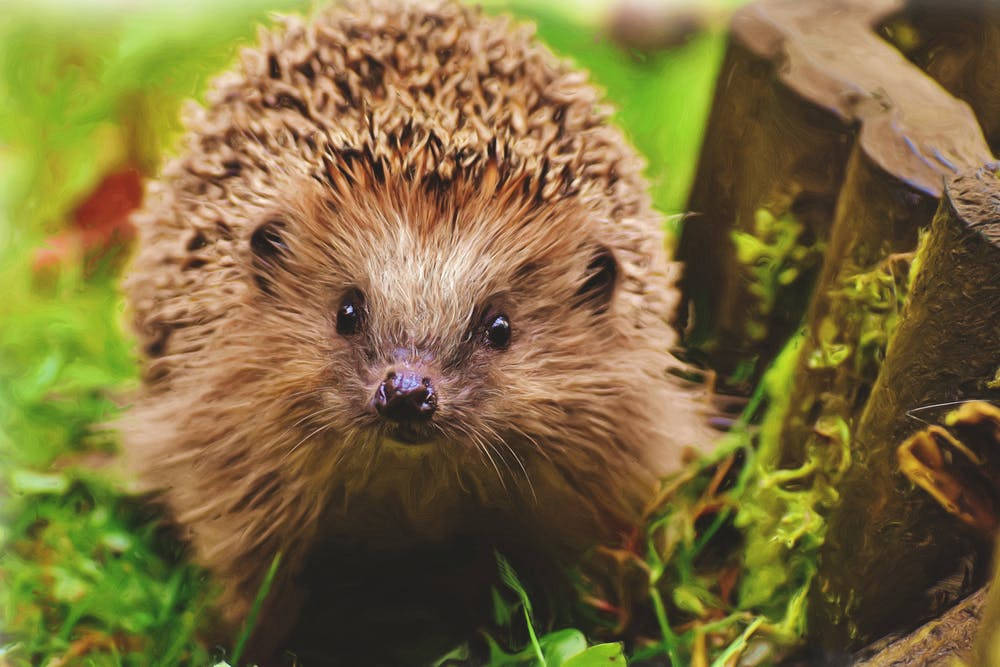 Ancient word of the day: hedgehog
