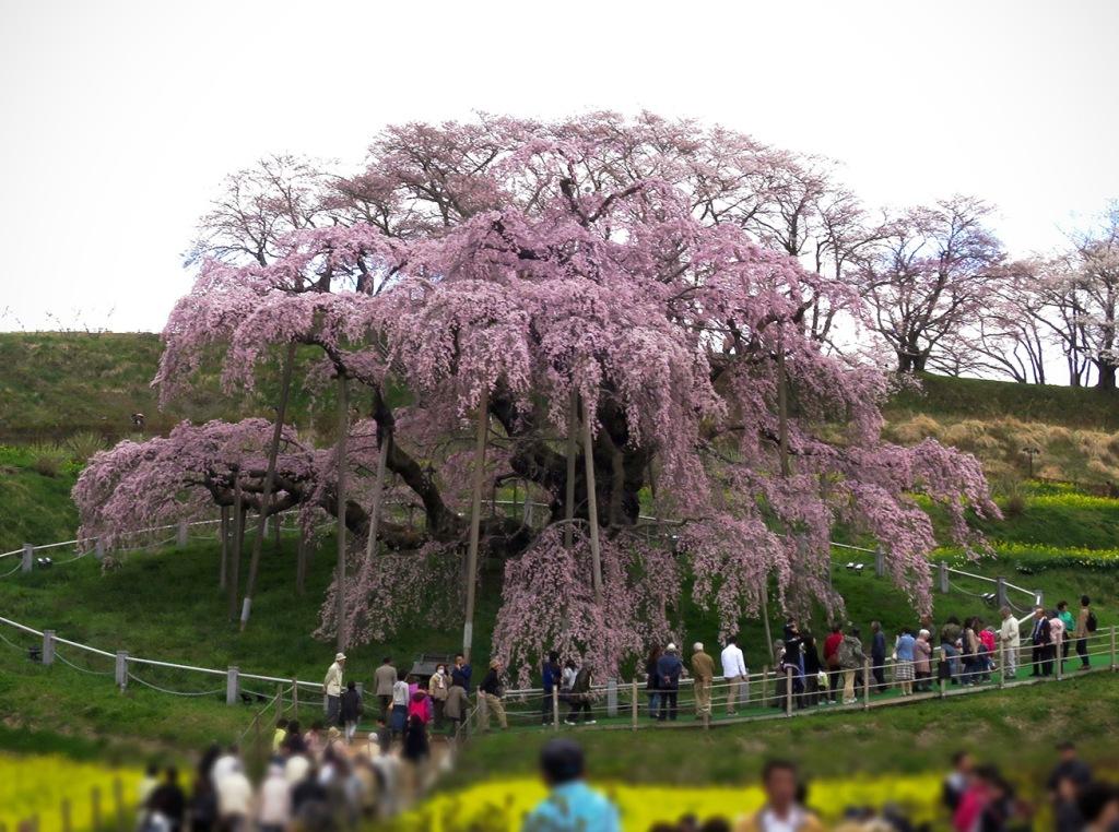 Miharu Cherry Blossoms - Jonelle Patrick