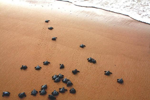 Baby turtles embark on the journey of their lives into the ocean