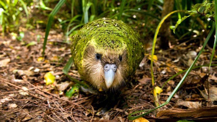 kakapo - morepork - Birds, Mana and Maori Culture