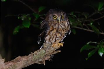 What New Zealand native species are you? morepork