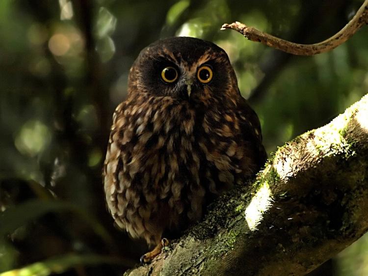Morepork - Birds, Mana and Maori Culture