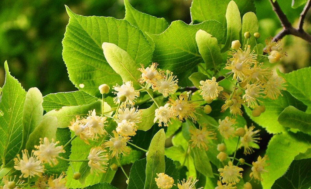 Lipiec (July) a common month for flowering linden trees in Poland