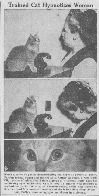 Puffy the Persian tomcat hypnotises a woman in New York