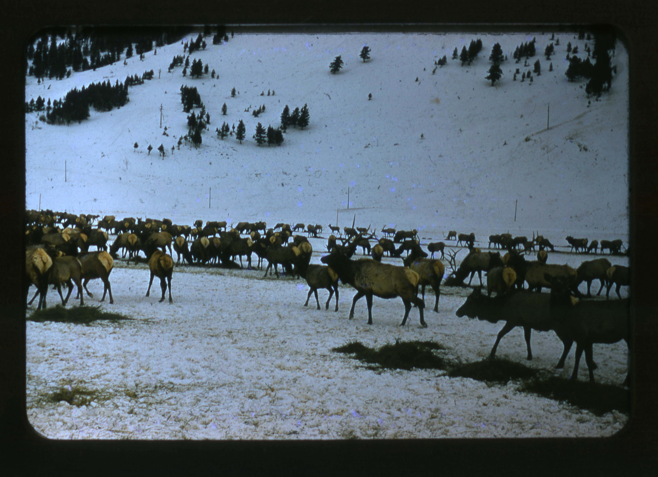 Every Picture Tells A Story: Caribou herd in Wyoming, 1954