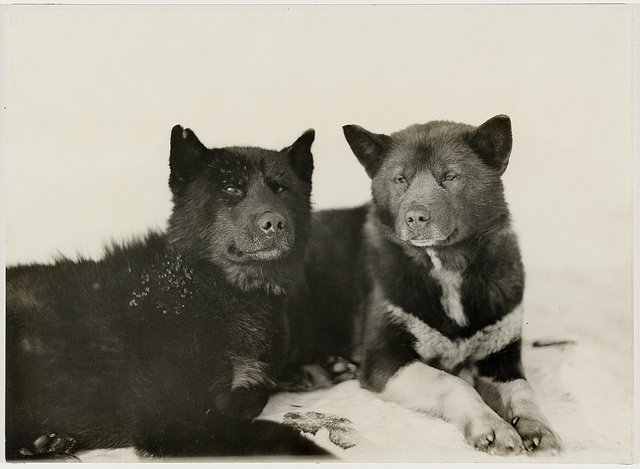 Every Picture Tells A Story: Stout Dogs on Antarctic Expedition (1911)