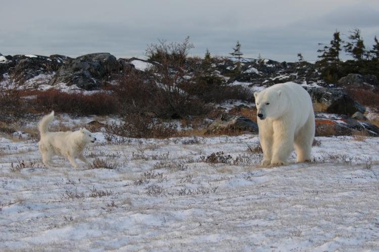 Inuit dog wards off a polar bear