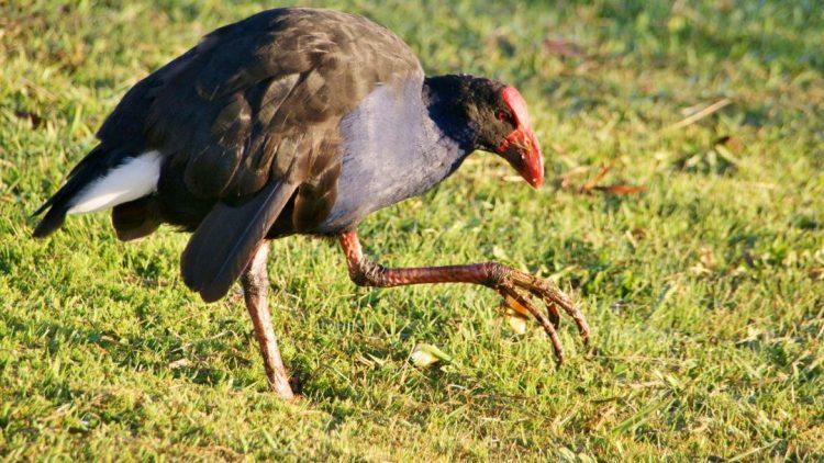 Pukeko - Birds, Mana and Maori Culture