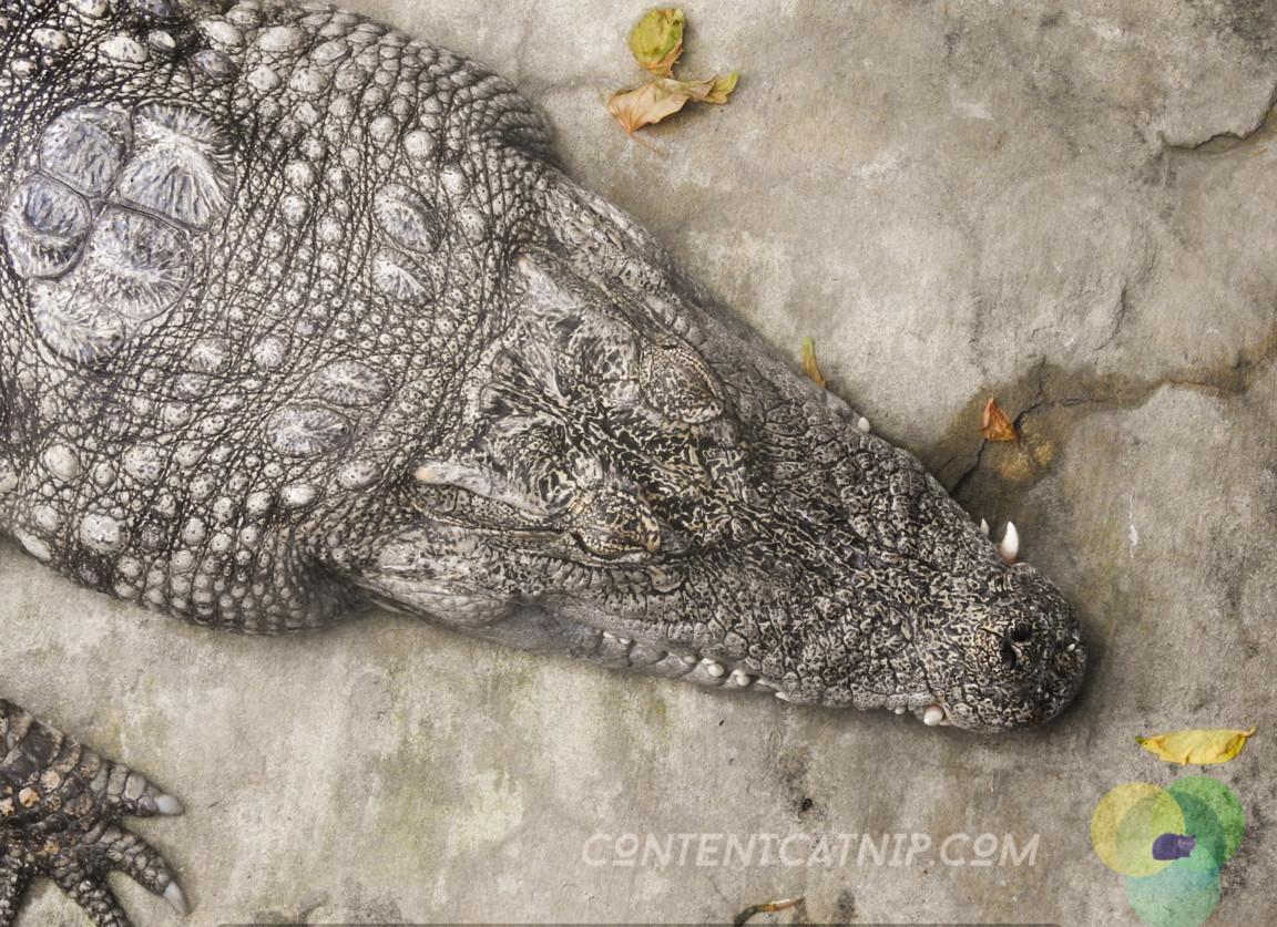 Alligator Warsaw Zoo Copyright Content Catnip 2019