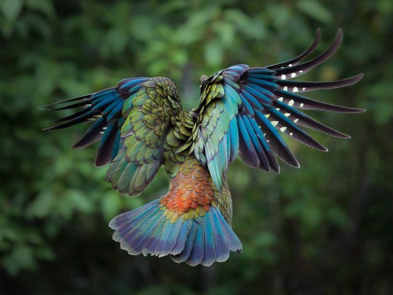 Maori nature ancient kea bird