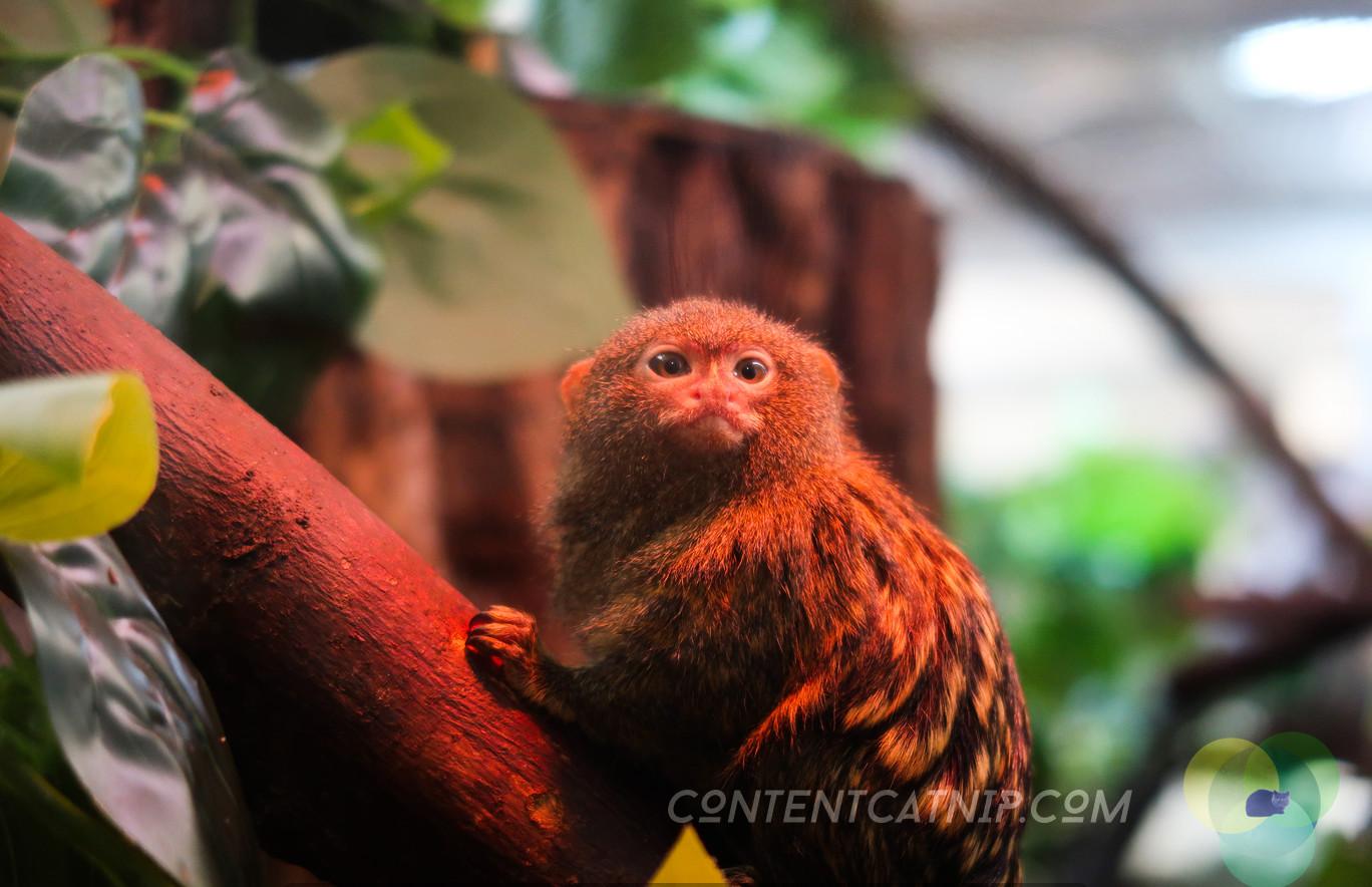 Pygmy marmoset. Warsaw Zoo Copyright Content Catnip 2019