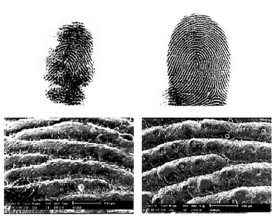 A Koala fingerprint (left) versus a human fingerprint.