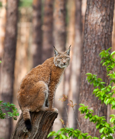 Bring Back The Eurasian Lynx To Britain!