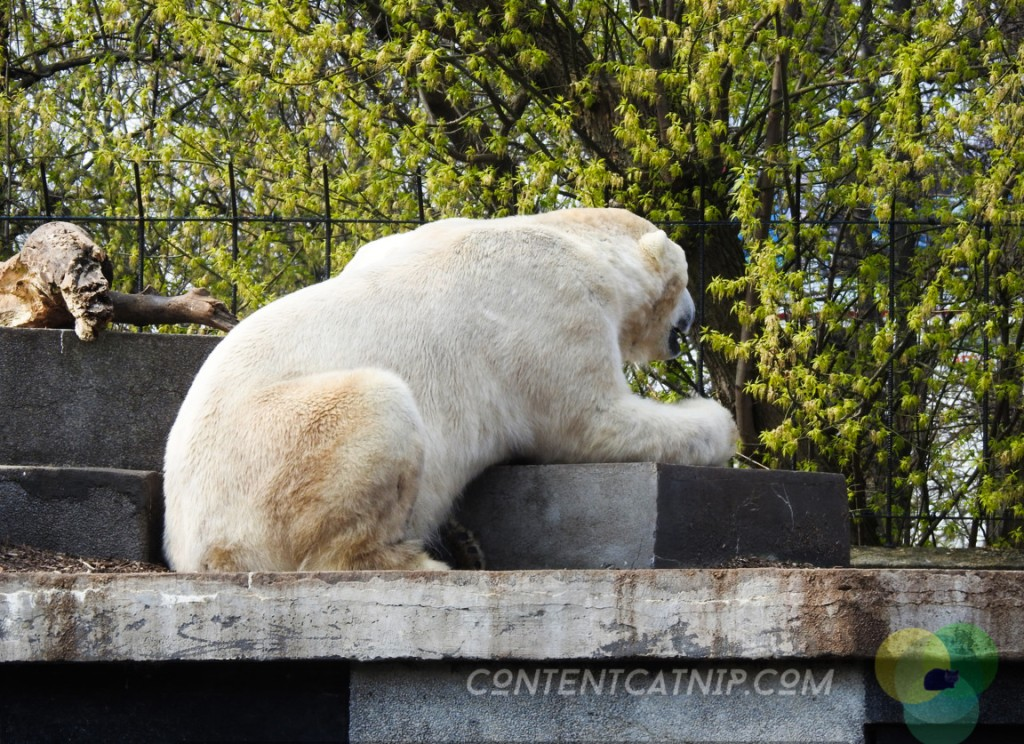 Two polar bears cling to a rock and lean back and forth in a pen full of rubbish and surrounded by a mote of water filled with algae and slime. Warsaw Zoo Copyright Content Catnip 2019