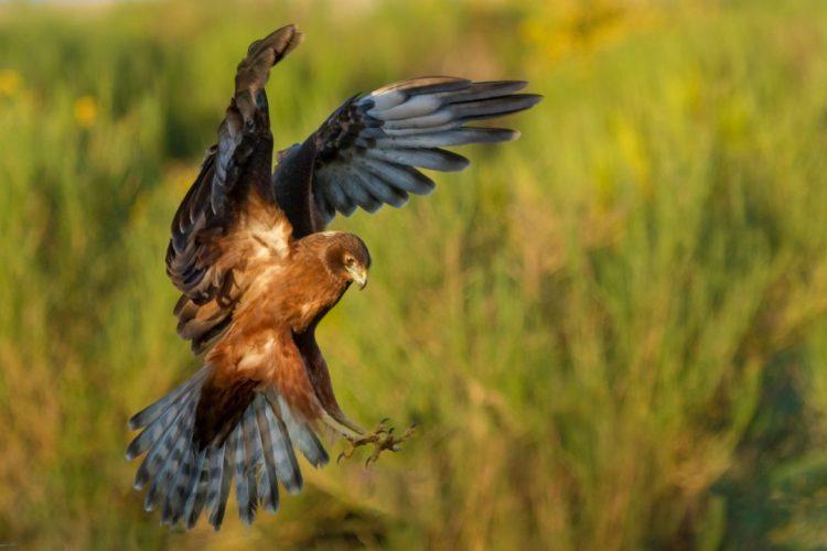 Kahu - Harrier Hawk- Birds, Mana and Maori Culture