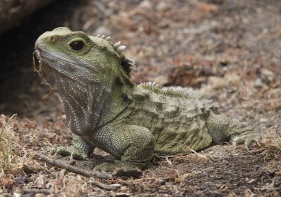 What New Zealand native species are you? Tuatara