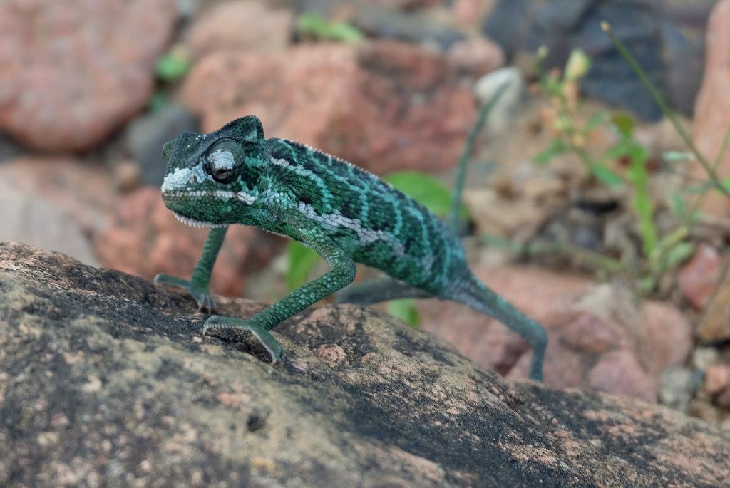 Socotran chameleon Chamaeleo monachus