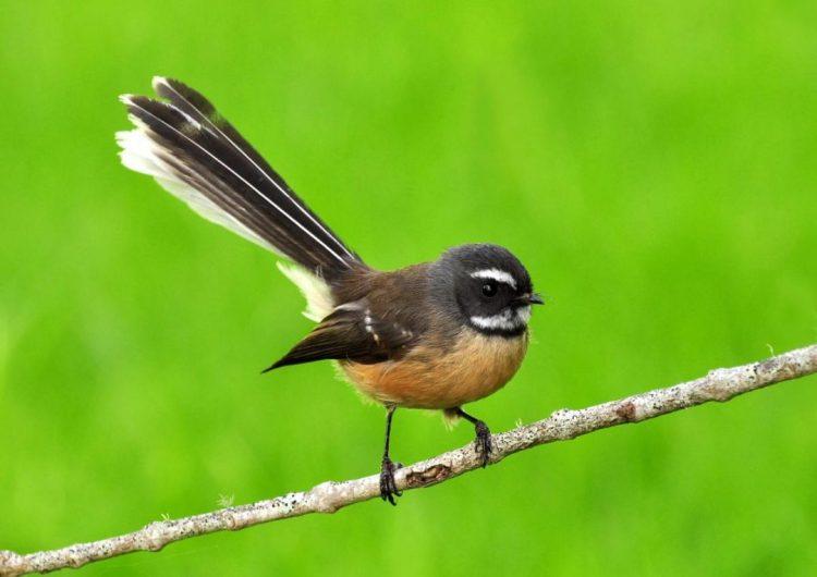 Piwakawaka - Birds, Mana and Maori Culture