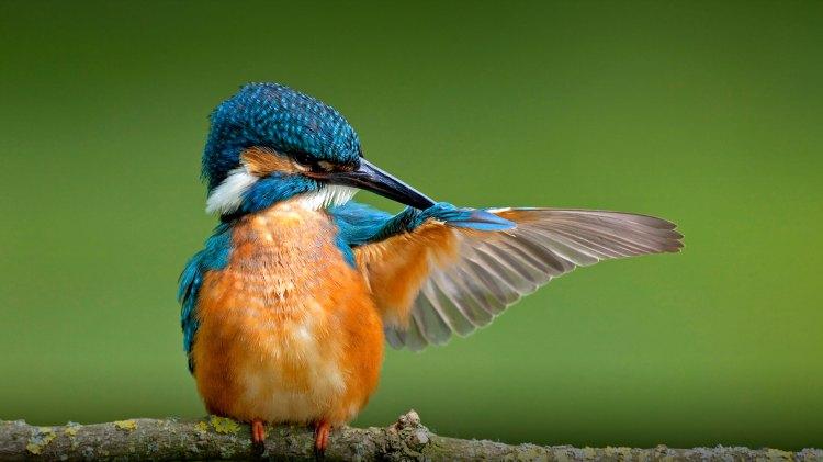 Kingfisher - Birds, Mana and Maori Culture