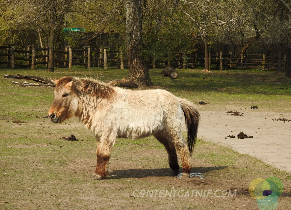 Mongolian horse Warsaw Zoo Copyright Content Catnip 2019