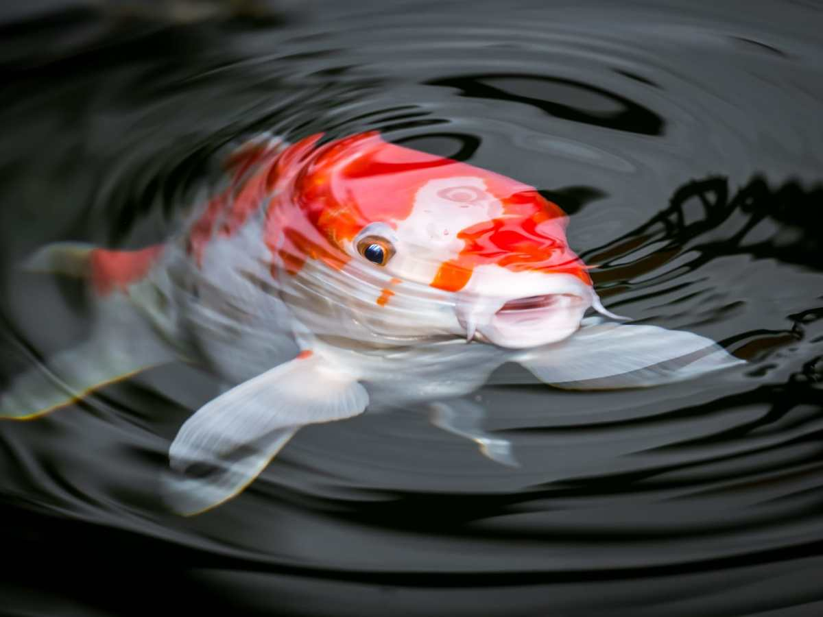 Hanako the 226 year old koi