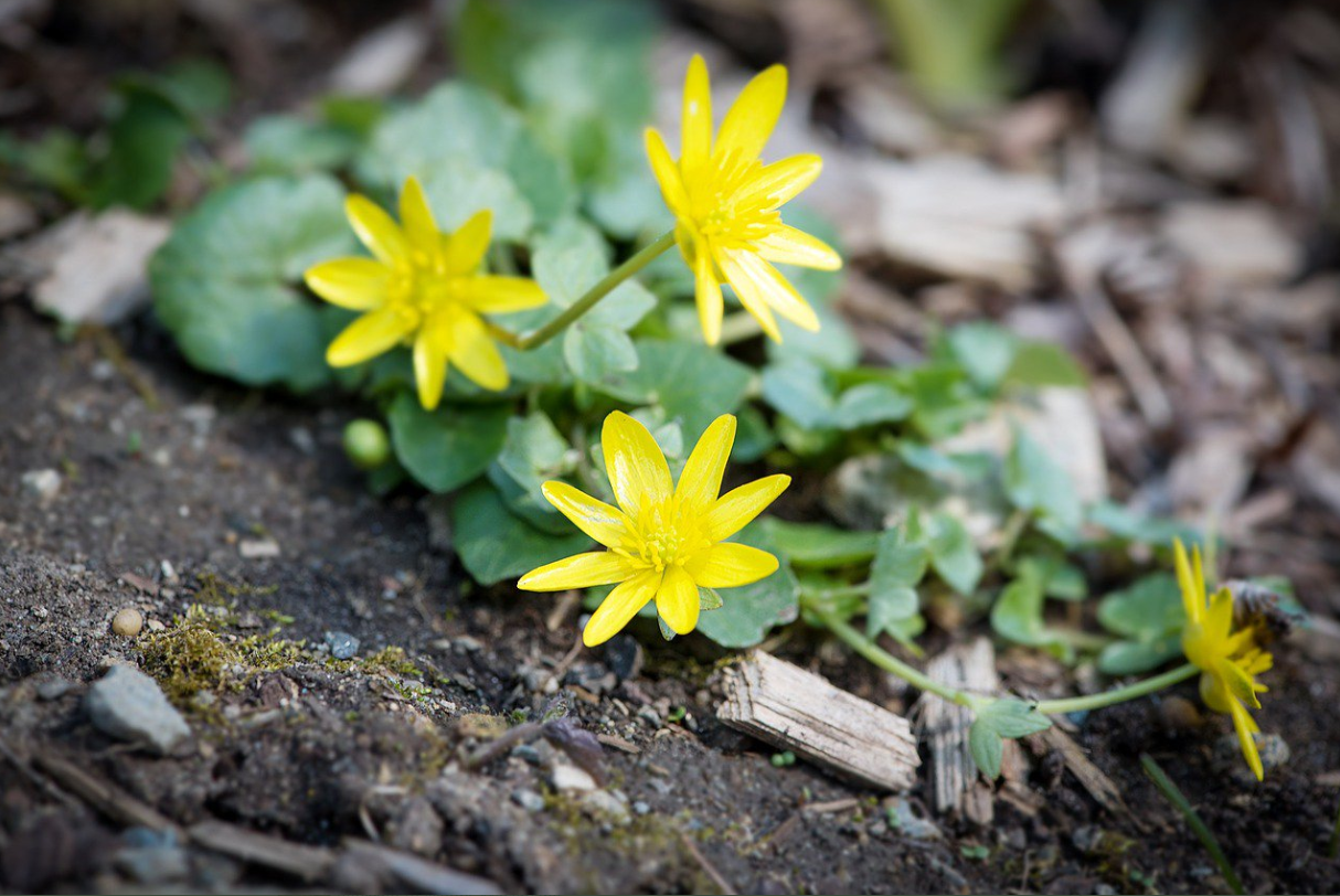 Ancient word of the day: Celandine
