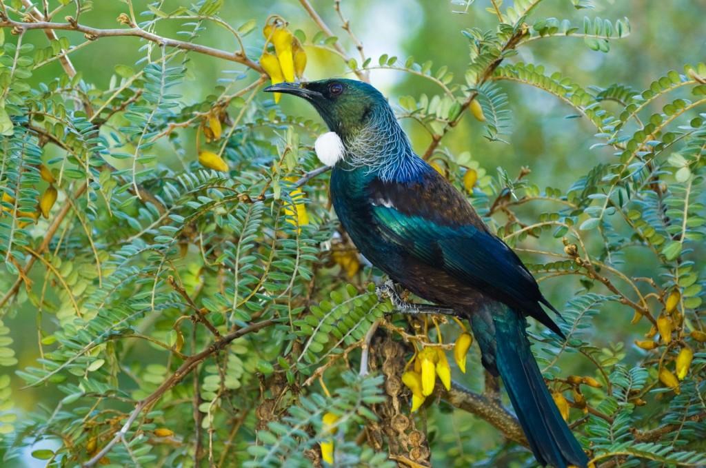 Tui - Birds, Mana and Maori Culture