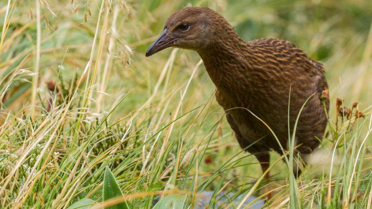 weka - Birds, Mana and Maori Culture