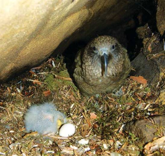 Quirky Facts About The Kea: NZ's Alpine Trickster