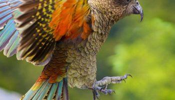 Kea - Birds, Mana and Maori Culture