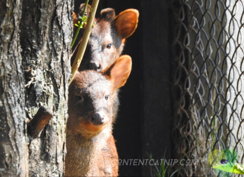 Southern Pudu Warsaw Zoo Copyright Content Catnip 2019