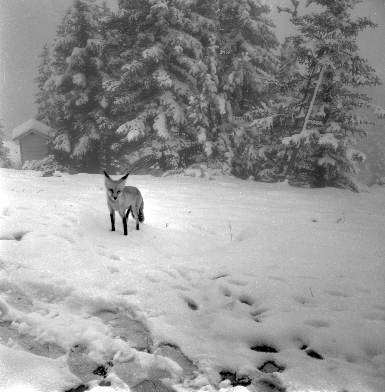 Every Picture Tells A Story: A lone fox during a July snowstorm