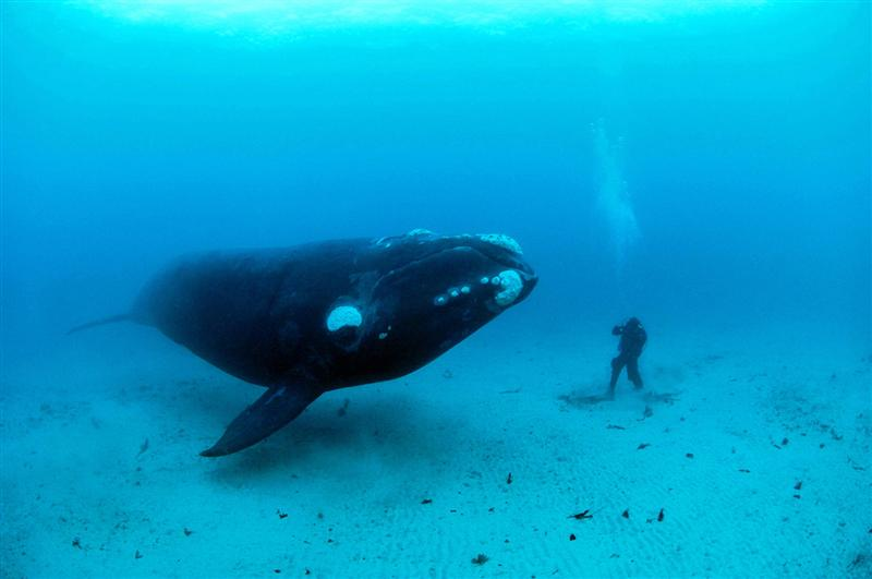 What New Zealand native species are you? Southern Right Whale