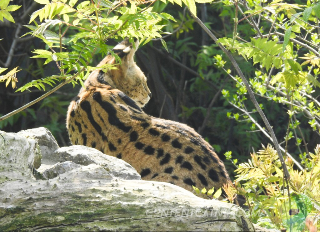 Serwal Warsaw Zoo Copyright Content Catnip 2019