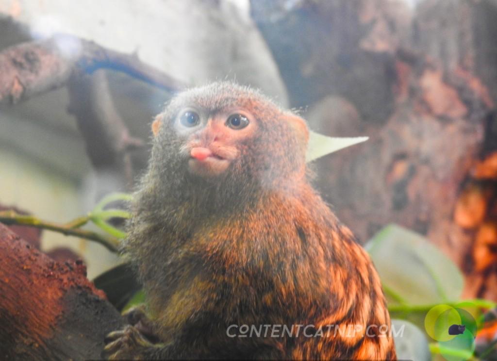 Pygmy Marmoset Warsaw Zoo Copyright Content Catnip 2019