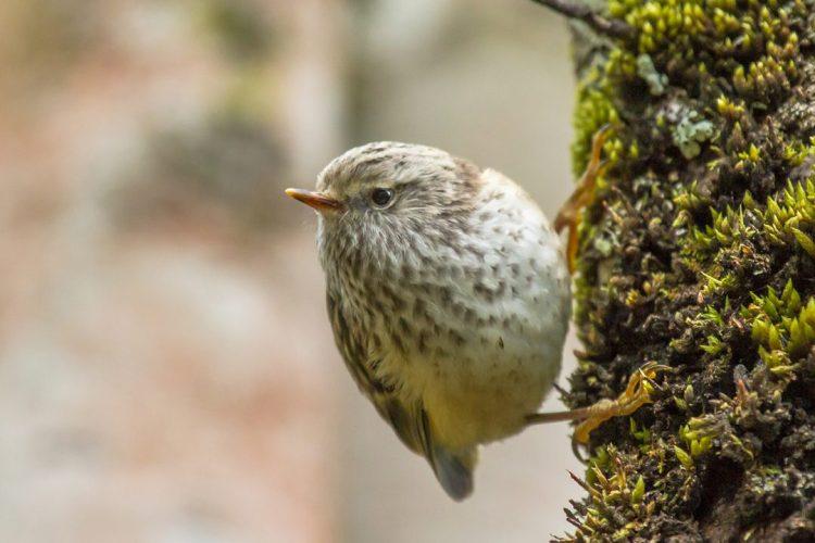 Rifleman- Birds, Mana and Maori Culture
