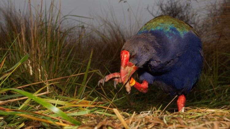 south island takahe - Birds, Mana and Maori Culture