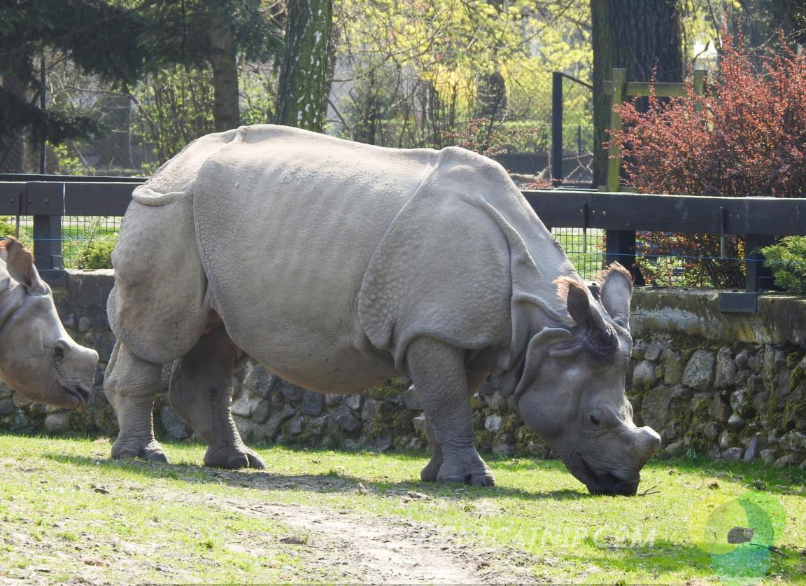 Rhino Warsaw Zoo Copyright Content Catnip 2019