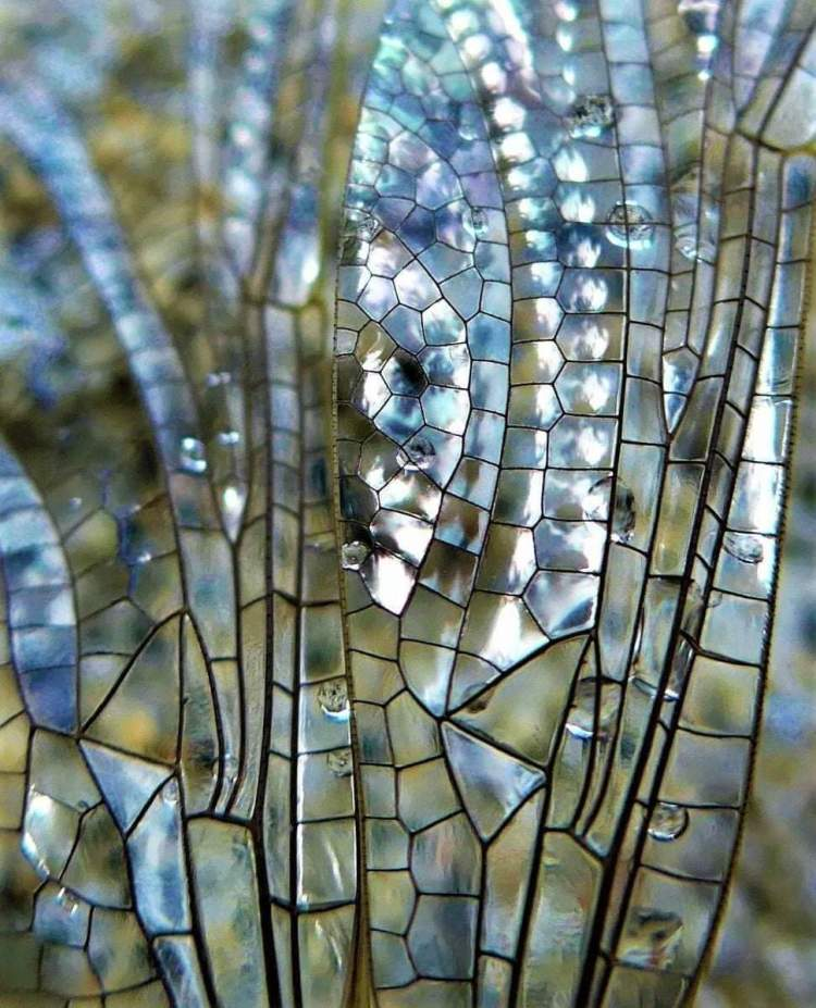 A diaphanous dragonfly's wing