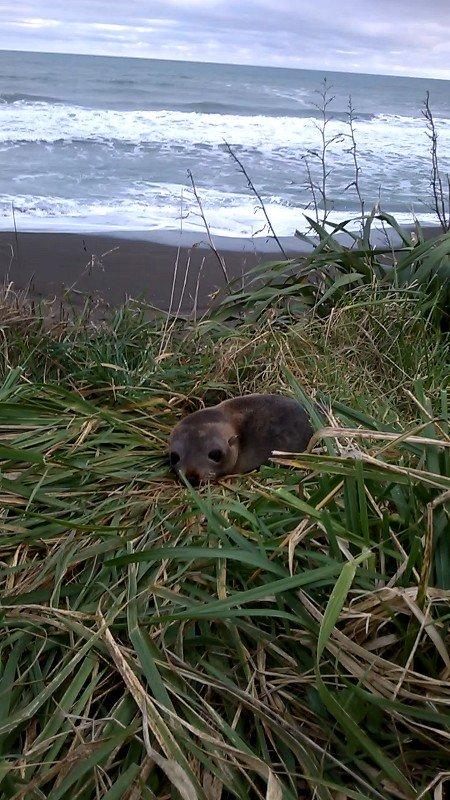 Seal on Mahia Beach Copyright Content Catnip 2017