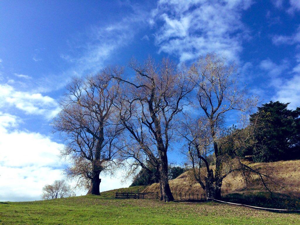Artists & Writers In Their Own Words: Kanariya Eishi - A tree in Cornwall Park, Auckland