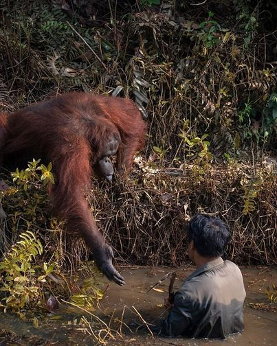 A Bornean orangutan reaches out to help a conservationist who appears to be stuck in a river.