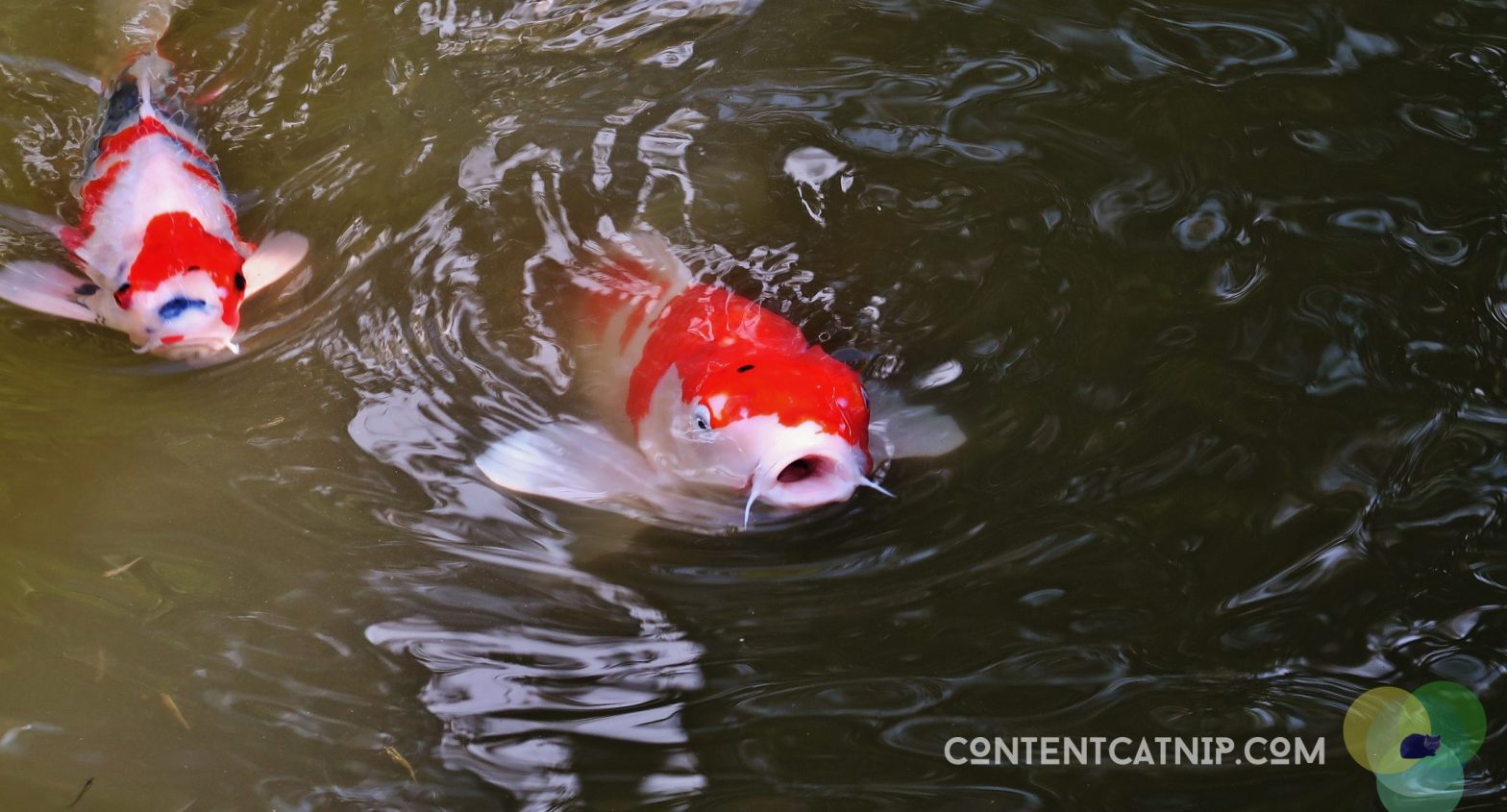 Koi fish vying for food in Kyoto by Content Catnip