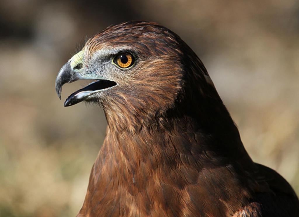 Falcon - kārearea - Birds, Mana and Maori Culture