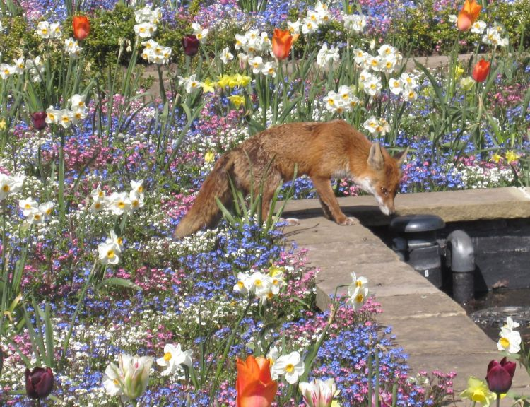A fox visitor into Maria's blooming and pretty garden