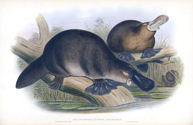 Aboriginal legend says that the platypus is a hybrid between a duck and a water rat.
