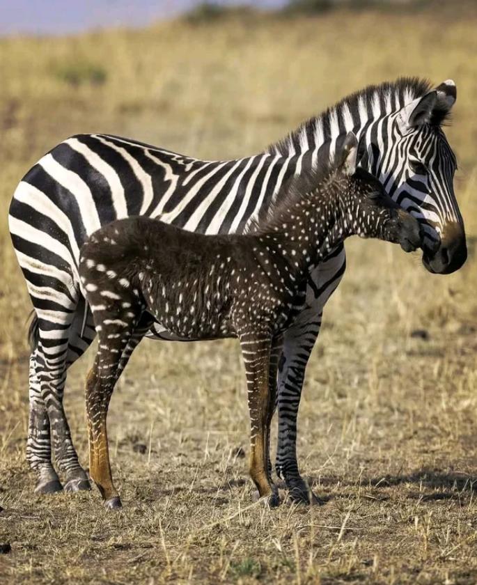 A super rare polka-dotted Zebra